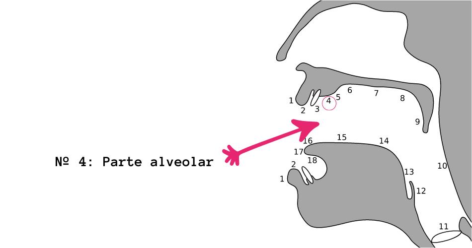 Parte alveolar del paladar para pronunciar la erre